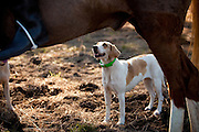 A fox hound at the Middleton Place Fox Hunt during a break in the hunt at Middleton Place plantation in Charleston, SC. The hunt is a drag hunt where a scented cloth is used instead of live fox.