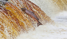 UK - Salmon In The River Tyne - 19 Oct 2016