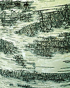 Pattern of lenticels on bark of American white birch, Betula papyrifera, Lion's Head Provincial Nature Preserve, Bruce Peninsula, Ontario, Canada.