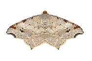 70.212 (1890)<br /> Sharp-angled Peacock - Macaria alternata