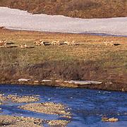 Barren Ground Caribou, (Rangifer arcticus) Porcupine herd near Kobuk River. Arctic National Wildlife Refuge. ANWR. Alaska.