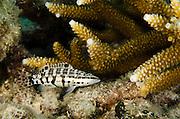 Harlequin Bass (Serranus tigrinus)<br /> BONAIRE, Netherlands Antilles, Caribbean<br /> HABITAT & DISTRIBUTION: Low profile reefs, coral rubble and sea grass. From Florida, Bahamas & Caribbean.