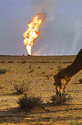 A camel grazes while an oil well fire rages in the background.  Hundreds of camels graze around the oil well fire in the Rumaila field being worked on by Boots and Coots. The Rumaila field is one of Iraq's biggest oil fields with five billion barrels in reserve.  Rumaila, southern Iraq. Rumaila is also spelled Rumeilah.