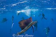 Atlantic sailfish, Istiophorus albicans (16 visible in photo), attacking bait ball of Spanish sardines (aka gilt sardine, pilchard, or round sardinella ), Sardinella aurita, off Yucatan Peninsula, Mexico ( Caribbean Sea )