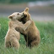 Alaskan Brown Bear, (Ursus middendorffi) Two young cubs playing . Alaskan Peninsula.