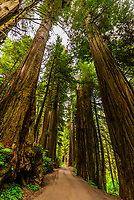 Howland Hills Road in Jedediah Smith Redwoods State Park, part of Redwood National and State Parks, near Crescent City, northern California USA.