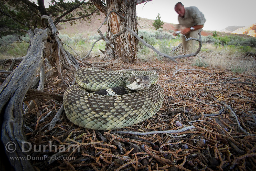 A westen rattlesnake (Crotalus viridis) under a juniper tree as a tourist prepares to take a photo. John Day Fossil Beds National Monument, Painted Hills Unit. Oregon.