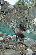 Sockeye Salmon<br /> <br /> Todd Pearsons/Engbretson Underwater Photography