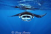 manta ray, Mobula alfredi, feeding on plankton, Nuku Hiva, Marquesas Islands, French Polynesia ( South Pacific Ocean )