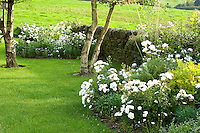 silver birch trees and white roses in a country garden