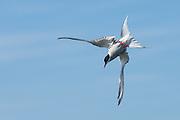 Arctic Tern prepares for a dive   Rødnebbterne gjør seg klar til et dykk