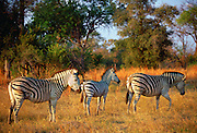 A herd of Burchell's Zebra  in Moremi National Park , Botswana