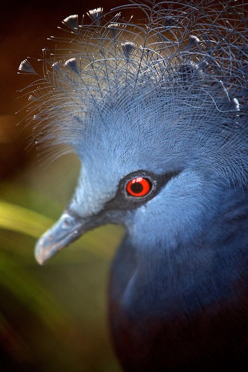 May 8, 2011; Norfolk, VA, USA; A crowned pigeon at the Virginia Zoo.  Mandatory Credit: Peter Casey