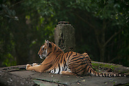 A Bengal Tiger rest inside the Taman Safari.<br /> The Taman Safari in Bogor. Thousands of wild and nearly extinct animals live on the safari site which features a drive through animal park.<br /> Various scenes of the city of Jakarta in Indonesia.