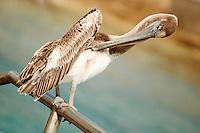 Brown Pelican Preening in Kralendijk Bonaire. Image taken with a Nikon D3s and 70-300 mm VR lens (ISO 200, 300 mm, f/5.6, 1/640 sec).