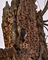 Red-Headed Woodpecker Stashing Acorns and Pine Nuts in a Dead Tree. Yosemite Valley, Fall 2008. Image taken with a Nikon D300 camera and 80-400 mm VR lens (ISO 200, 400 mm, f/8, 1/320 sec).