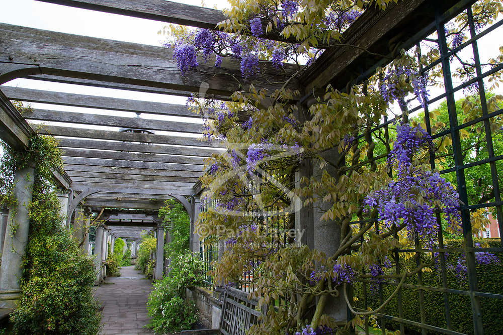 Wisteria blooms at the secret garden in Hampstead, London. Hampstead, May 13 2018.