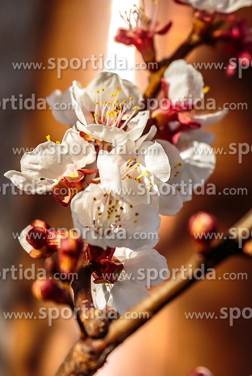 THEMENBILD - ein Zweig mit Marillenblüten eines blühenden Marillenbaumes, aufgenommen am 10. April 2018 in Kaprun, Österreich // a branch with apricot blossoms of a flowering apricot tree, Kaprun, Austria on 2018/04/10. EXPA Pictures © 2018, PhotoCredit: EXPA/ JFK