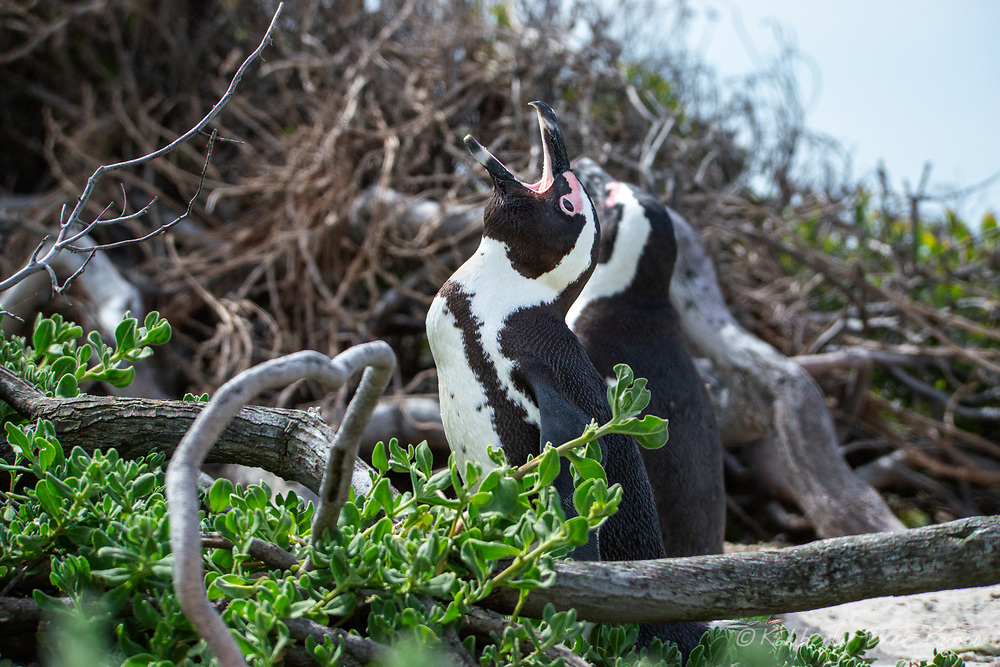 Endangered adult African Penguin yawning in the dense vegetation at Boulders Beach, Table Mountain National Park, South Africa.