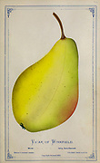 Vicar of Winkfield pear from Dewey's Pocket Series ' The nurseryman's pocket specimen book : colored from nature : fruits, flowers, ornamental trees, shrubs, roses, &c by Dewey, D. M. (Dellon Marcus), 1819-1889, publisher; Mason, S.F Published in Rochester, NY by D.M. Dewey in 1872
