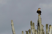 Crested Caracara  Juvenile (Polyborus plancus) on Cactus<br /> BONAIRE, Netherlands Antilles, Caribbean<br /> HABITAT & DISTRIBUTION: Lowland countryside, savannas, river edges and forests.<br /> Southwestern USA & Florida, Central & South America and Caribbean.