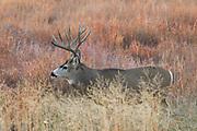 Mature mule deer buck in habitat