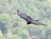 A turkey vulture (Cathartes aura) in flight above Lake Atitlan. Panajachel, Republic of Guatemala.