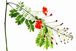 Pride of Barbados tree, caesalpinia pulcherrima #13
