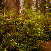 Rhododendron blooming among the Coast Redwoods / Sequoia Semperviren of the Lady Bird Johnson Grove in Redwood National Park, CA.