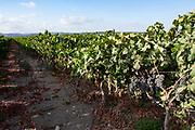Grape vines in a vineyard Photographed in Israel