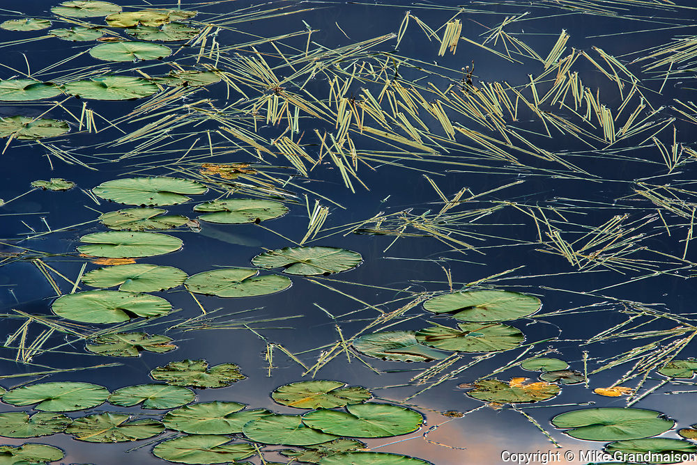 Aquatic vegetation (Sparganium and lily pads) in Wetland in morning light<br />Kenora<br />Ontario<br />Canada