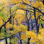 Cottonwoods in peak fall color along the Crystal River near Carbondale, Colorado.