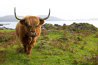 Isle of Mull Laggan Bay, overlooking Ulva, HIghland Cattle grazing
