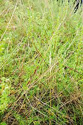 Duinaveruit, Artemisia campestris subsp. maritima