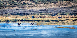 Wolves playin in the Hayden Valley of Yellowstone National Park.  Upon completion of a meal and a dip in the cooling Yellowstone River they were feeling frisky.<br /> <br /> Although a great behavior image, it will have fine for stock imagery but not for a decorative print.  I didn't offer printing in the shopping option but contact me if you want a custom print.