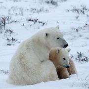 Polar Bear (Ursus maritimus) Mother and cub resting, snuggling. Churchill, Manitoba. Canada. Winter.