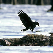 Common Crow (Corvus brachyrhynchos).  An incoming bird makes a landing on a dead whitetail deer in Wisconsin.