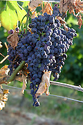 Italy, Piedmont (Piemonte) region, vineyard close up of a cluster of grapes