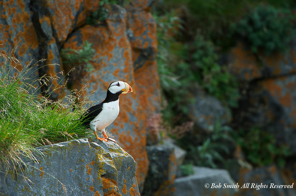 A solitary horned puffin perches on a rock cliff near Mt Redoubt, Alaska on a summer day.