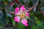 Red-leaved Rose ( Rosa glauca ) blossoming during the spring in a backyard rose garden