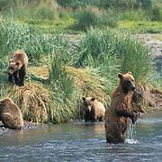 Alaskan Brown Bear, (Ursus middendorffi)  Mother fishing to feed young cubs. Coastal Alaska.