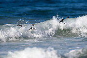 Southern Rockhopper penguins surf a wave near Saunders Island on Sunday 4th February 2018.