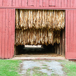 Silver Springs, PA USA - October 24, 2014: Tobacco leaves drying in a red barn.