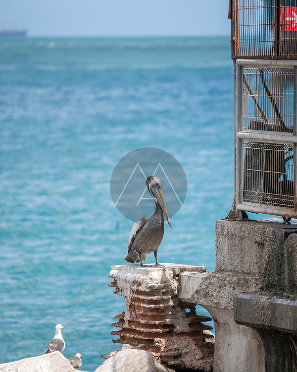 View of a Pelican in San Antonio along the bay, Chile.