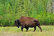 Wood bison (Bison bison athabascae) <br />Wood Buffalo National PArk<br />Northwest Territories<br />Canada