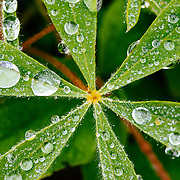 Dew drops cover the star shaped leaves of lupine flowers in the Paradise Valley of Mount Rainier National Park.