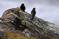 Alpine Chough (Pyrrhocorax pyrrhocorax) sitting on a rock. Hohe Tauern National Park, Carinthia, Austria