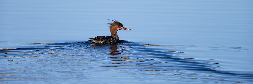 Red-breasted Merganser | Siland