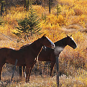Horses during autumn in Wyoming.