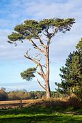 Scots Pine tree,  Pinus sylvestris, Suffolk Sandlings AONB, England, UK